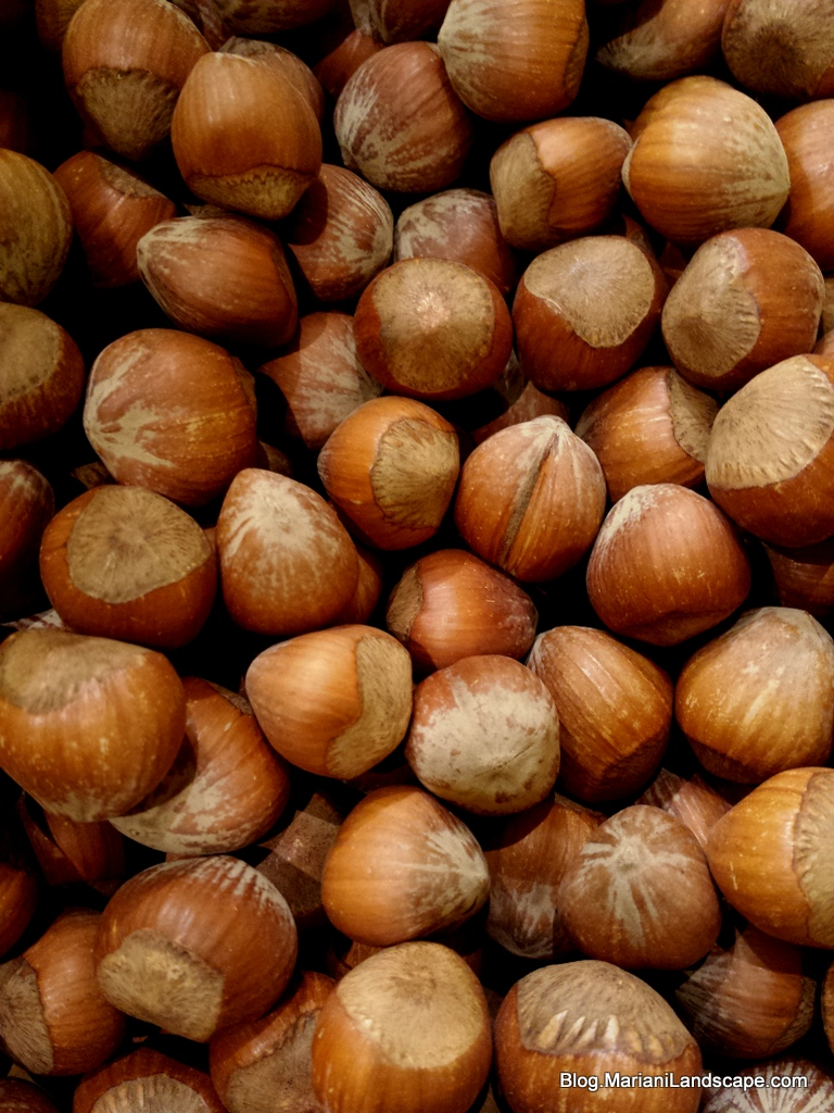 The Gallery For Gt Types Of Acorns