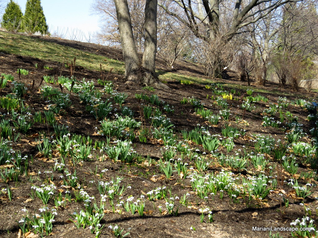 Naturalized spring bulb designs in the garden with for Spring bulb garden designs