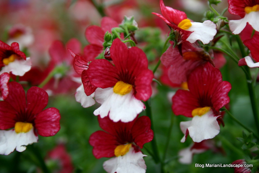 The Colors Of Nemesia In The Garden With Mariani Landscape