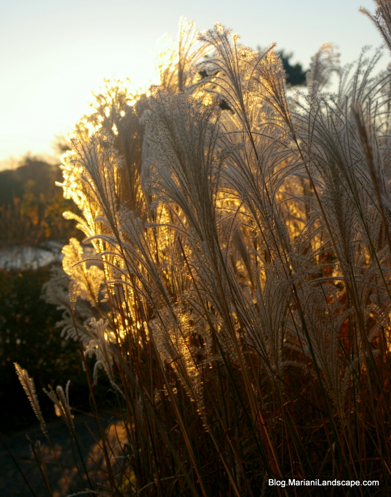 Grasses as ornaments in the garden with mariani landscape for Tall feather grass