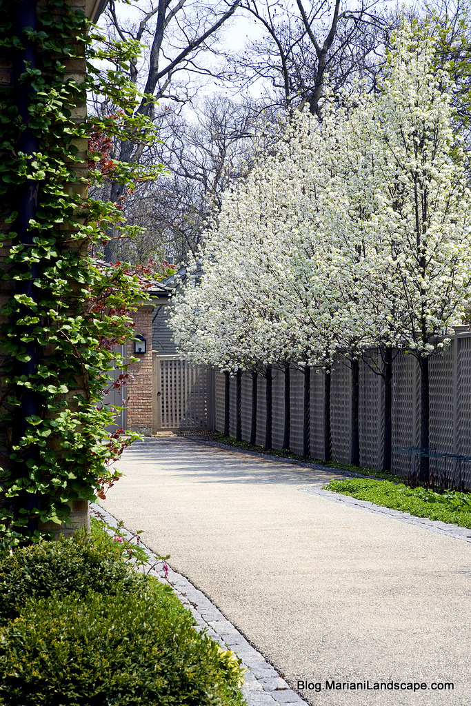 Landscaping With Pear Trees : Flowering trees for april in the garden with mariani