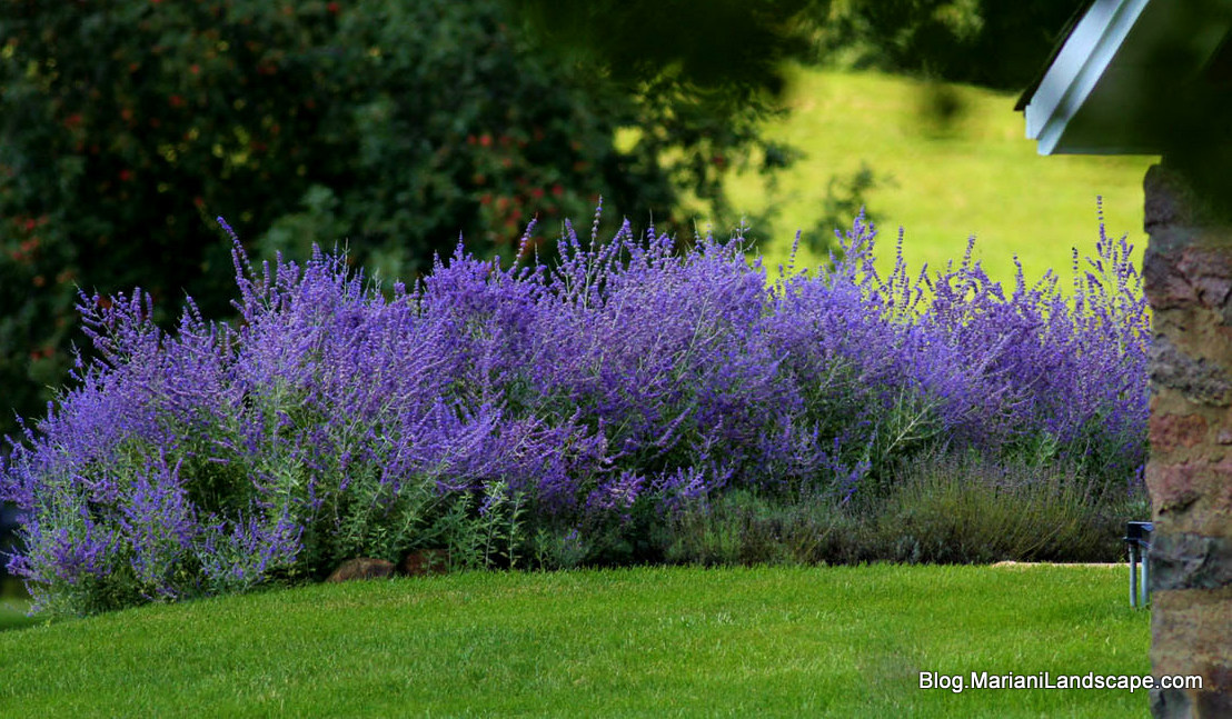 Landscaping With Russian Sage Drought-Tolerant Peren...