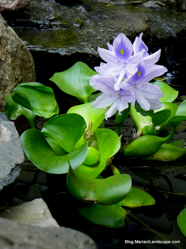 Aquatic Plants for Your Water Garden | In the Garden…with ...